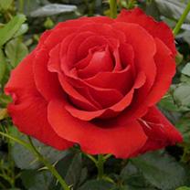 Rose Plant - Carris