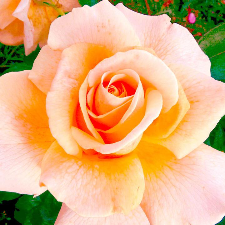 Rose Plant - Debbie Phillips
