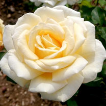 Rose Plant - Mary Berry