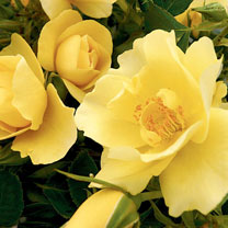 Rose Plant - Gardener's Gold