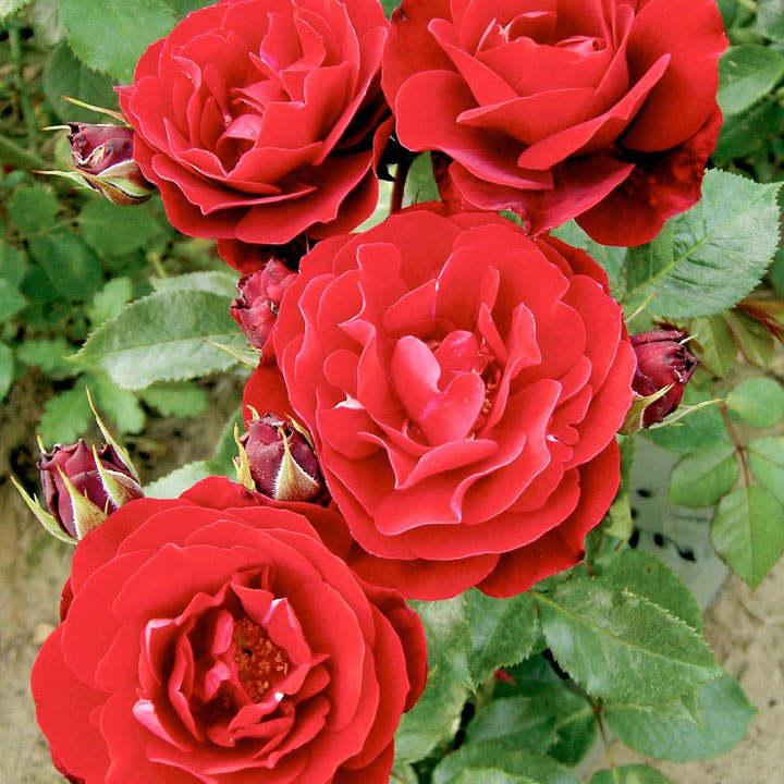 Rose Plant - Red Abundance