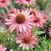 Rudbeckia Purpurea Seeds - Bravado