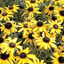 Rudbeckia Plants - Little Susie