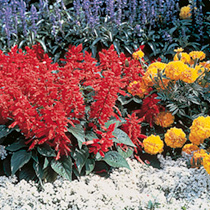 Salvia splendens Seeds - Firecracker Twin Pack