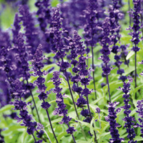 Salvia Farinacea Victorian Splendour Plants