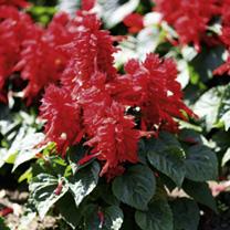 Salvia Plants - Firecracker