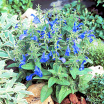 Salvia Plants - Patio Sky Blue