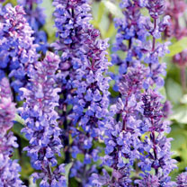 Salvia Plant - New Dimensions Blue