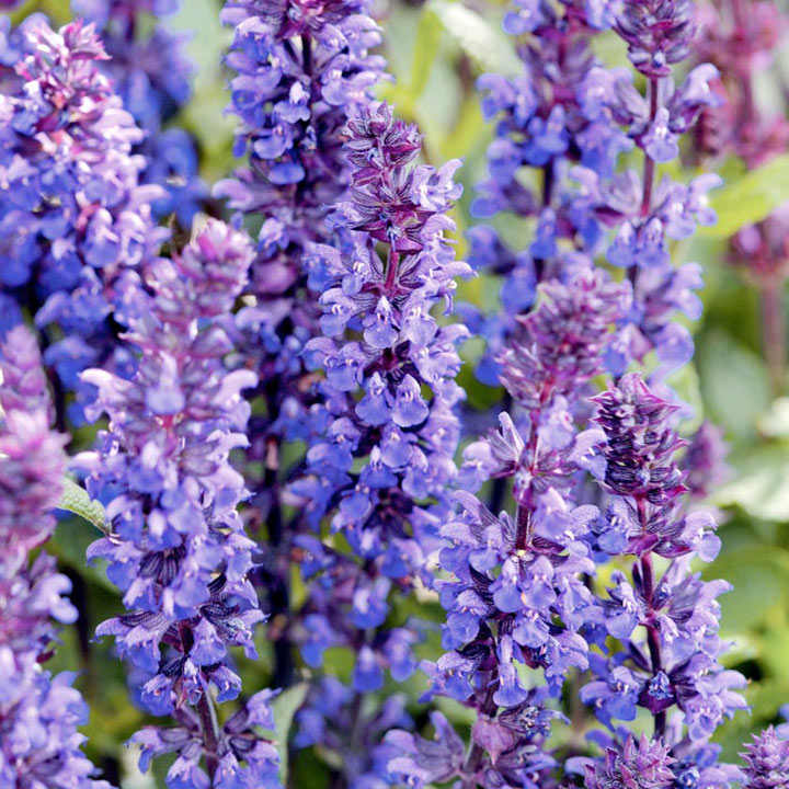 Salvia Plant - New Dimensions Blue