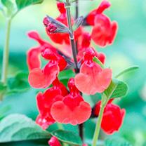 Salvia Plant - Royal Bumble