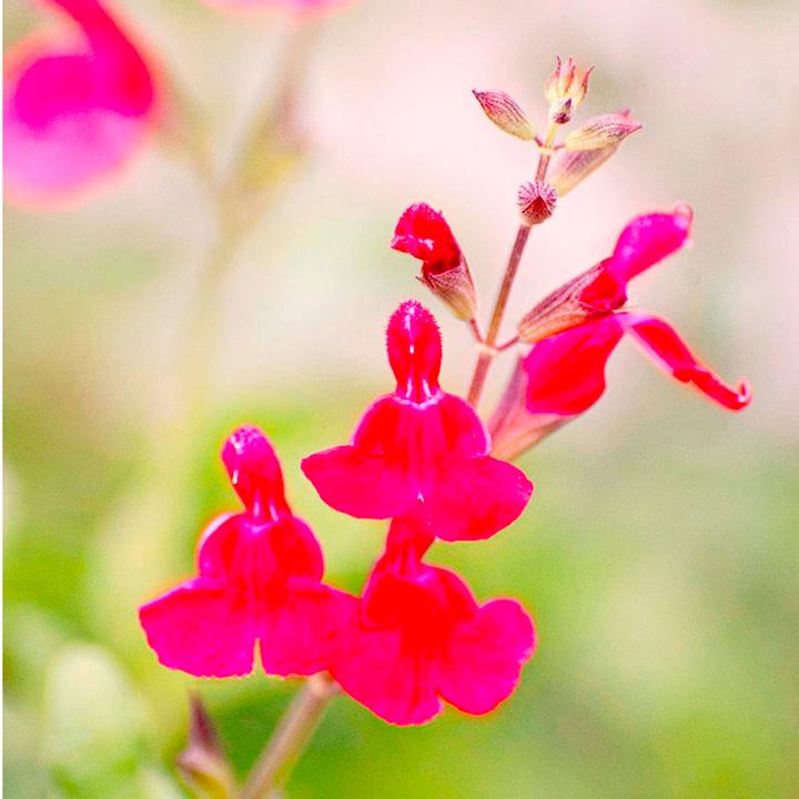 Herb Plant - Blackcurrant Sage