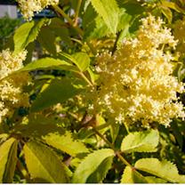 Sambucus nigra `Aurea` Plants