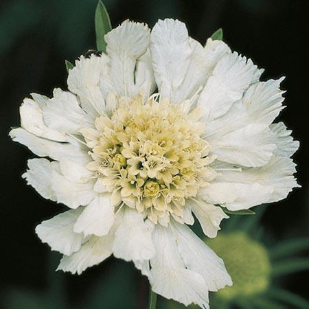 Scabiosa Plant - caucasica Perfecta Alba