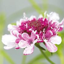 Scabiosa caucasica Plant - Beaujolais Bonnets