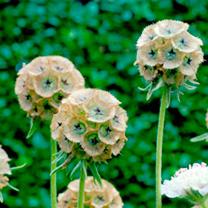 Scabiosa Seeds - Drumsticks