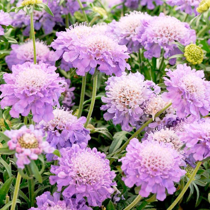 Scabious Plant - Blue Note