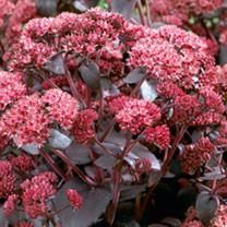 Sedum Plant - Purple Emperor