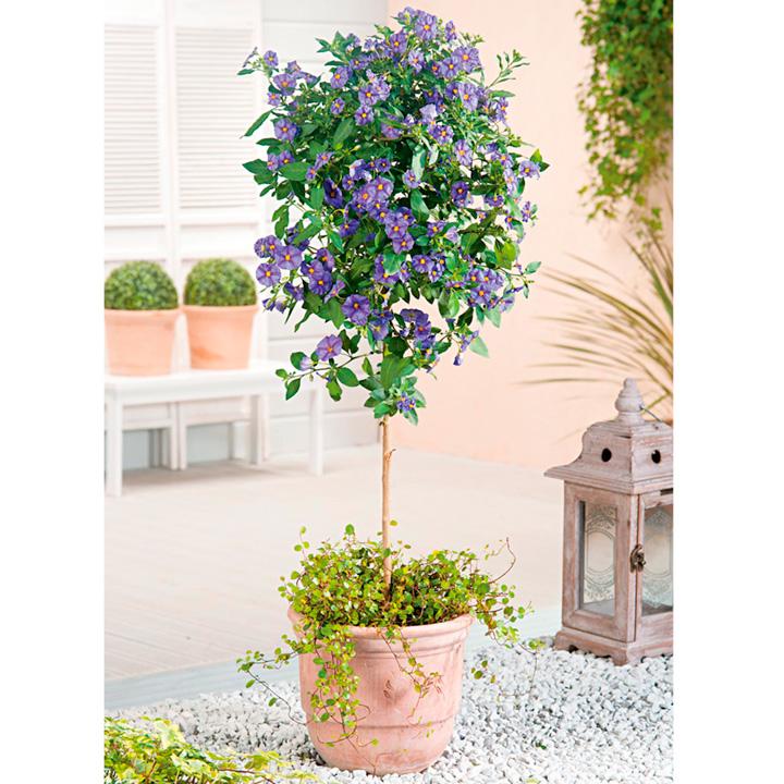 Solanum rantonnetii Plant - Mini Standard