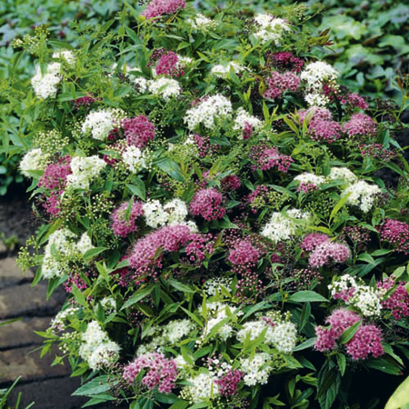 Spiraea Plant - Shirobana