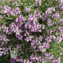 Stachys Plants - Lilac Falls