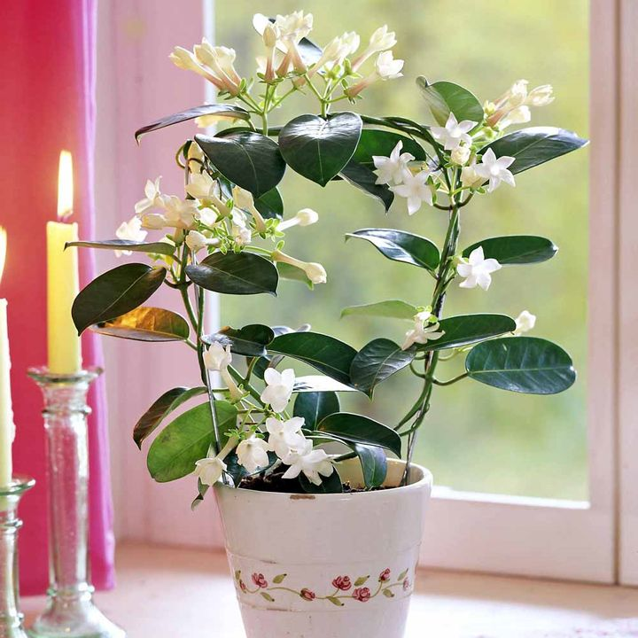 Stephanotis plant dobies for Indoor plant gift ideas