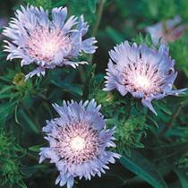 Stokesia Seeds - Laevis