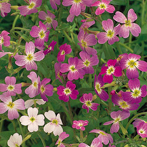 Virginian Stock Seeds - Mixed