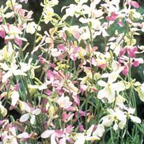 Night-Scented Stock Seeds - Bicornis