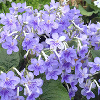 Streptocarpus and Saintpaulia Plants Collection