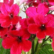 Streptocarpus Plant - Scarlett