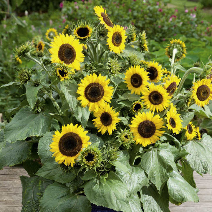 Sunflower plants waooh dobies - Flowers planted may complete garden ...