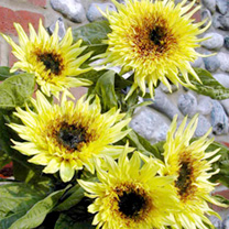Sunflower Plants - F1 Lemon Eclair