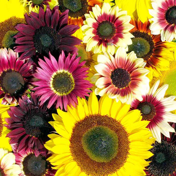 Sunflower Seeds - Summer Long Mixed