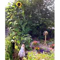 Sunflower Plants - Giraffe