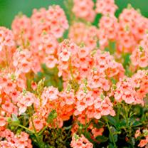 Diascia Plant - Sundiascia Peach