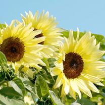 Sunflower Seeds - Buttercream F1