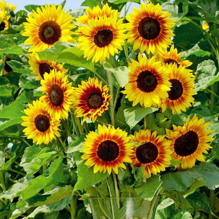 Sunflower Seeds - Solar Power F1