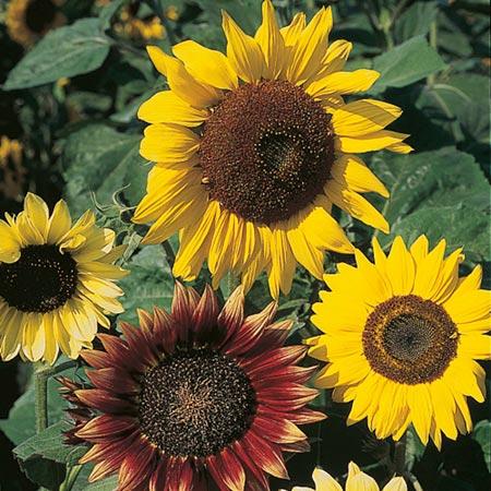 Sunflower Seeds - Cutting Mixed