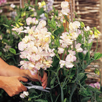 Sweet Pea Plant - Collection