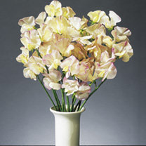 Sweet Pea Plants - High Scent