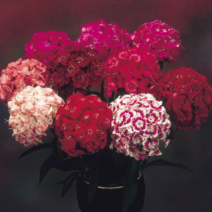 Sweet William Seeds - Fragrant Cloud Mixed F1