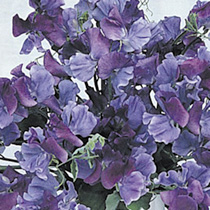 Sweet Pea Seeds - Fragrant Skies