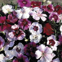 Dianthus Seeds - Sugar Baby Mixed