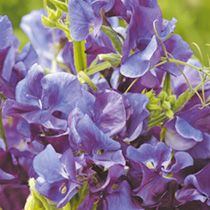 Sweet Pea Seeds - Heritage Mix part of the Rob Smith Cut Flower Range