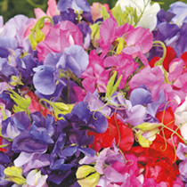 Sweet Pea Plants - Long Stemmed Mix