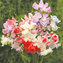 Sweet Pea Seeds - Showbench Mixed