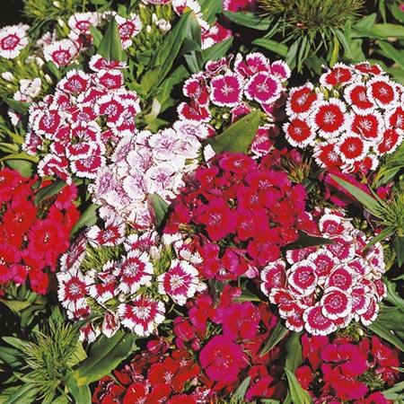 Dianthus Plants - Barbarini
