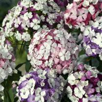 Sweet William Plants - Kaleidoscope Mix