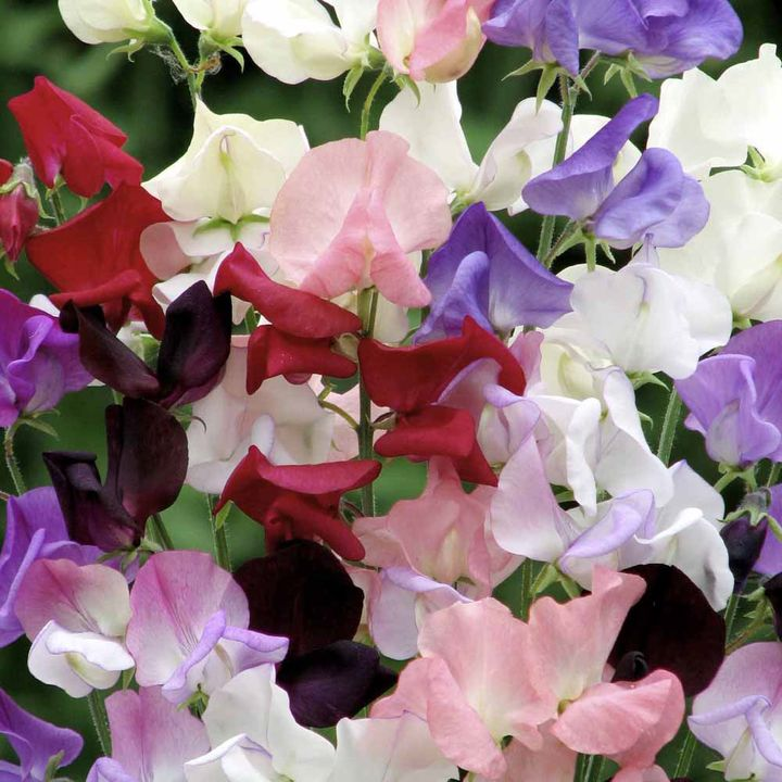Sweet Pea Seeds - Capricorn