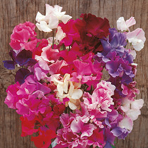 Sweet Pea Seeds - Horizon Mixed Twin Pack